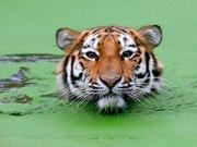 tigre-peligro